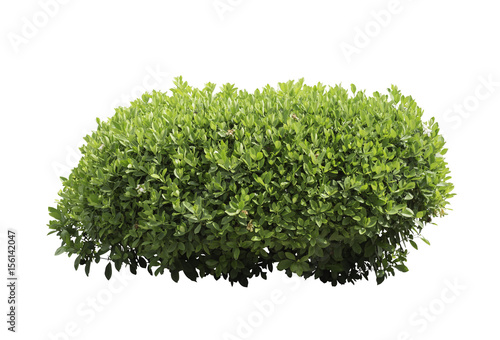 Foto  Bush isolated on white background,Objects with Clipping Paths