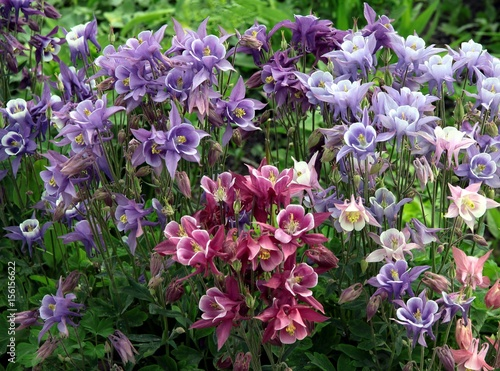 multicolor flowers of columbine plant in a garden Canvas Print