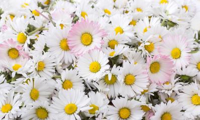 Fototapeta daisies / Freshly picked, white daisy blossom
