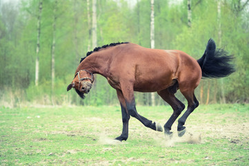funny shot. running and playing bay horse. spring