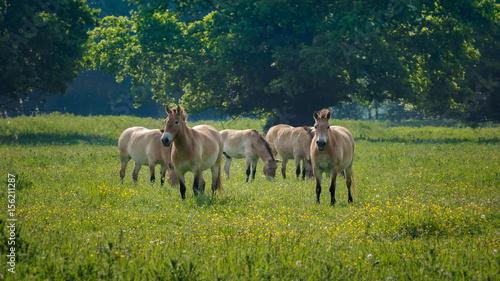 Door stickers Horses Przewalski horses Naturepark Lelystad Netherlands spring 2017