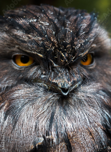 Wall Murals Hand drawn Sketch of animals Face close-up of a Tawny Frogmouth