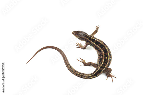 Photographie Sand lizard (Lacerta agilis) isolated on white