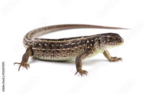 Brown lizard isolated on white