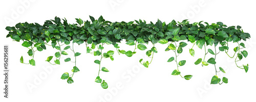 Fotografia Heart shaped green yellow leaves of devil's ivy or golden pothos, bush with hanging branches isolated on white background, clipping path included