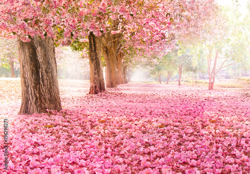 Poster Light pink Falling petal over the romantic tunnel of pink flower trees / Romantic Blossom tree over nature background in Spring season / flowers Background