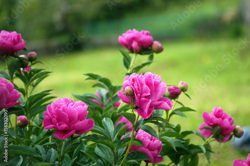 A bush of pink peonies in the garden