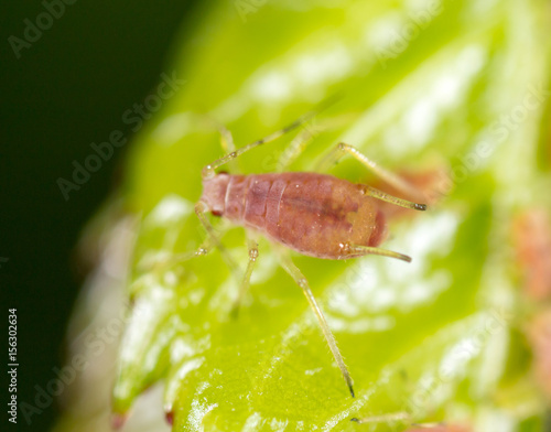 Photo A small aphid on a green plant