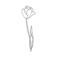 Hand Drawn Of Side View Black And White Open Tulip Flower, Sketch Style Vector Illustration Isolated On White Background. Hand Drawing Of Tulip Flower, Decoration Element