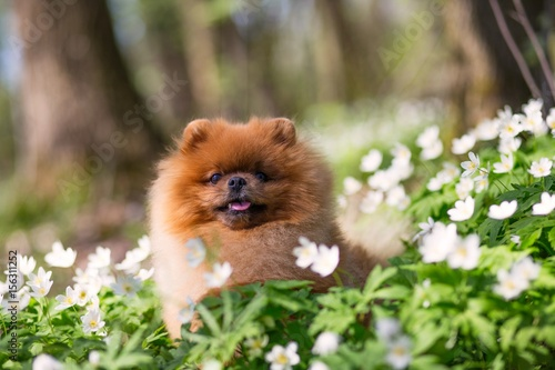 Deurstickers Franse bulldog Beautiful and fluffy pomeranian dog in a spring forest flowers. Adorable dog. Dog in a forest.