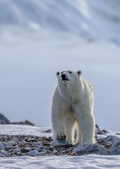 Fototapeta na wymiar Polar bear of Spitzbergen (Ursus maritimus)