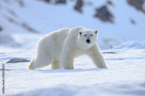 Photo Stands Polar bear Polar bear of Spitzbergen (Ursus maritimus)