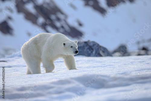 Wall Murals Polar bear Polar bear of Spitzbergen (Ursus maritimus)