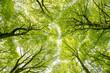 Leinwanddruck Bild - Blätterdach im Buchenwald