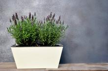 Lavender In A Flower Pot