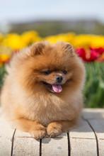 Pomeranian Dog In Tulips. Dog ...
