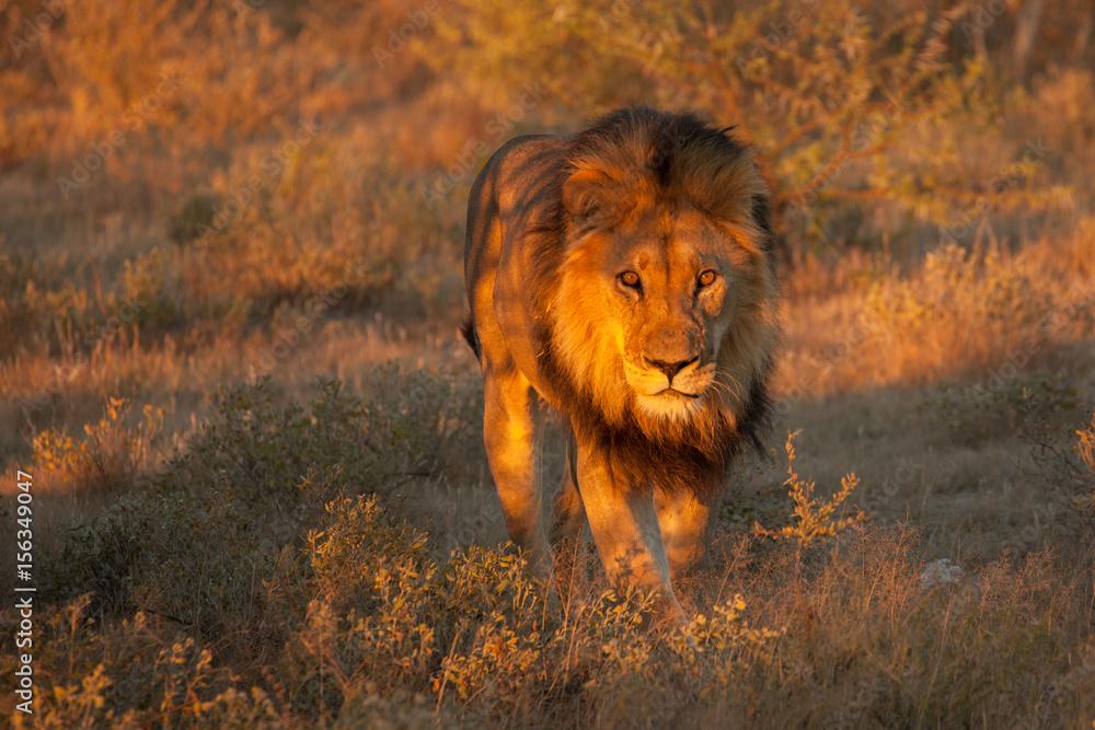 Fototapeta  lion desolate in an arcish bush (Panthera leo)