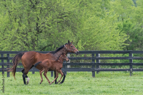 Fotografie, Obraz  Mare and Foal Run Side By Side