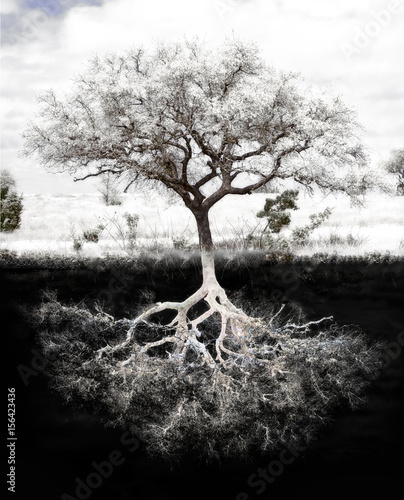 Photo Tree Roots: Concept is strong foundation and roots, family, health, mental health, growth and success in  wealth