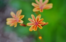 Pink And Orange Flowers Of The...