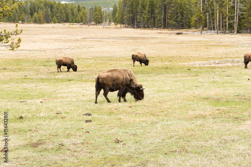 Aluminium Prints Wild Buffalo in Yellowstone