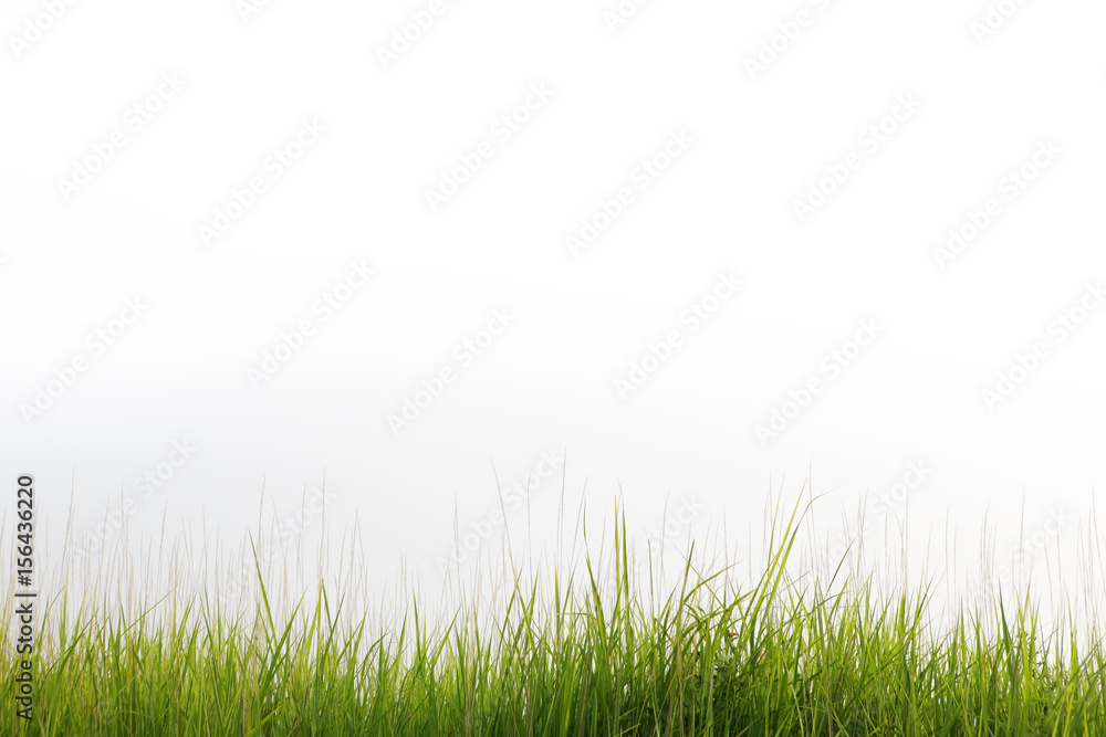 Fototapety, obrazy: reeds grass isolated on white