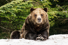 North American Grizzly Bear In...