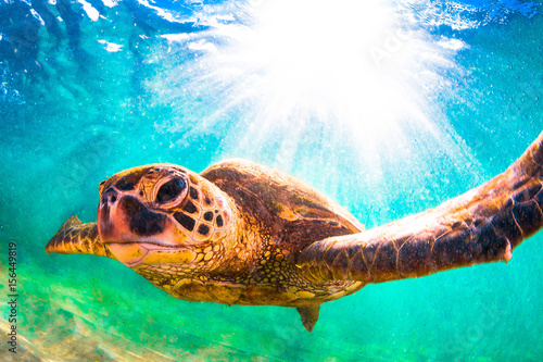 Poster Tortue Hawaiian Green Sea Turtle swimming in the Pacific Ocean of Hawaii