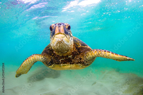 Foto op Aluminium Schildpad Hawaiian Green Sea Turtle swimming in the Pacific Ocean of Hawaii