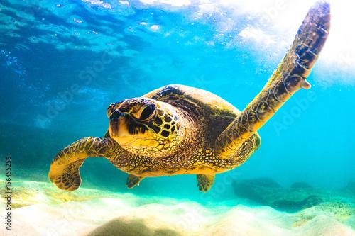Foto op Aluminium Schildpad Endangered Hawaiian Green Sea Turtle swimming in the warm waters of the Pacific Ocean in Hawaii