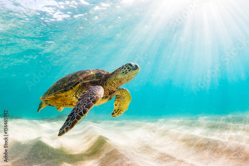 Fotografie, Obraz An endangered Hawaiian Green Sea Turtle cruises in the warm waters of the Pacific Ocean in Hawaii