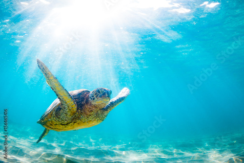 Poster Tortue An endangered Hawaiian Green Sea Turtle cruises in the warm waters of the Pacific Ocean in Hawaii.