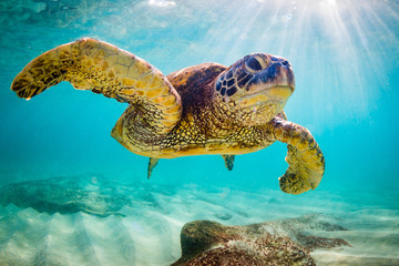 Fototapeta samoprzylepna An endangered Hawaiian Green Sea Turtle cruises in the warm waters of the Pacific Ocean in Hawaii.
