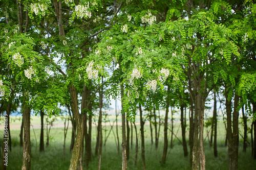 Pseudo acacia (black locust) trees Canvas Print