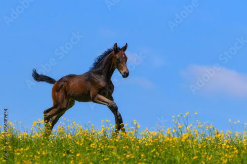 Cuadros en Lienzo Warmblood foal running over a pasture