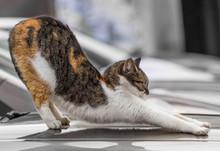 Tabby Cat Stretching.