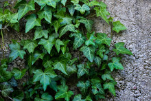 Ivy Plant On The Background Of...