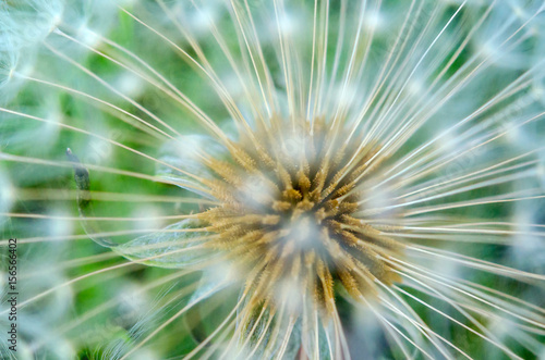 Fototapety, obrazy: ripened change of a dandelion, ready to crops