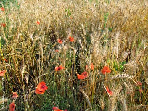 Foto op Canvas Klaprozen red poppies