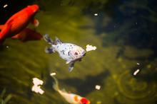 Shubunkin Im Gartenteich, Zusammen Mit Goldfischen