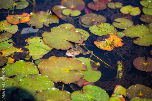 frosch sitzt auf seerosenblatt photo stock  adobe stock