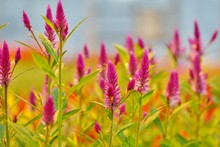 Pink Spikes Of Celosia Flowers In Bloom