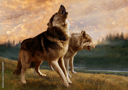 A pair of wolves inspect their possessions