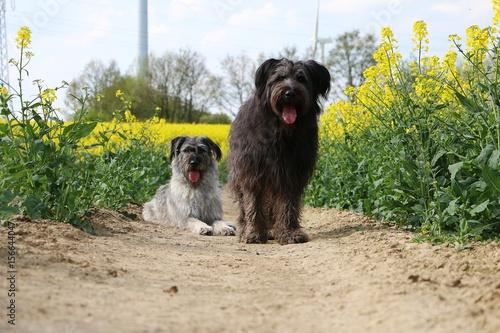 Fotografie, Obraz  Hundepaar im Rapsfeld