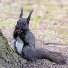 The Black Squirrel Eats Sitting By The Tree In The Woods