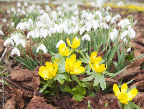 Staande foto Tuin Winter Aconites (Eranthis hyemalis) and Snowdrops (Galanthus nivalis)