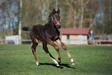 brown foal runs outdoors in summer