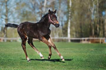 playful foal running on a field