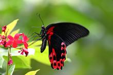 Scarlet Mormon Butterfly, Sent...