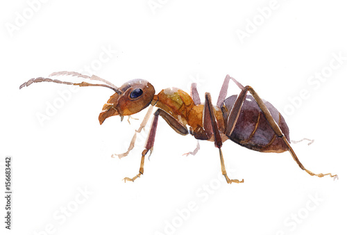 Fotografía  Watercolor single ant insect animal isolated on a white background illustration